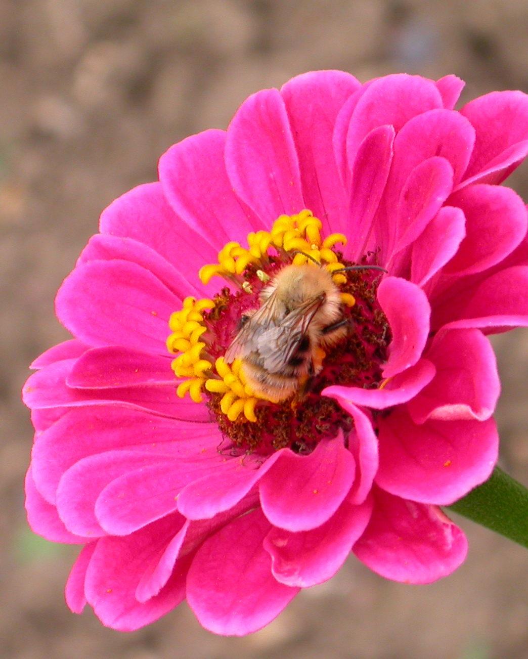abeille fleur1