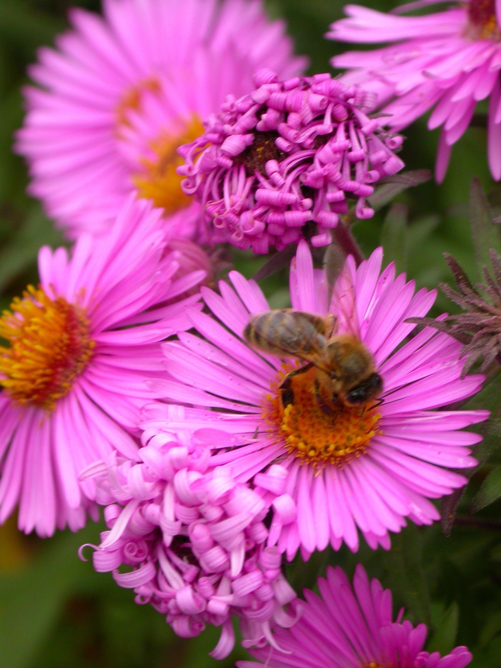 abeille fleur 2