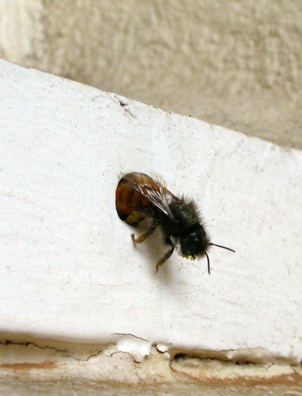 abeille solitaire 1