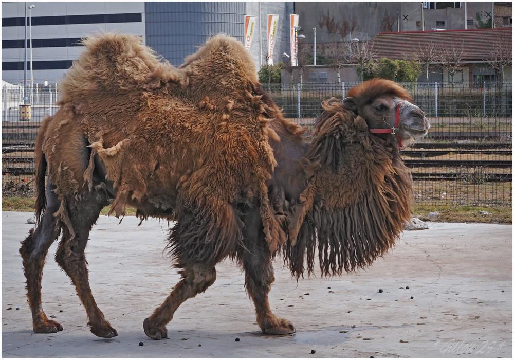 Illust : vieux chameau, 677.4 ko, 1000x700
