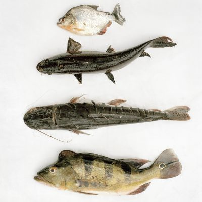 """Ribeirinhos"" fish, hunt and collect fruits to feed their family. Every morning Daniel goes fishing in a lagoon close to his house. From top to bottom : Piraña, Fasaco, Sungaro, Tucunare."