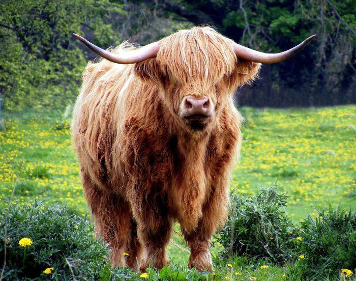 adieu veaux vaches