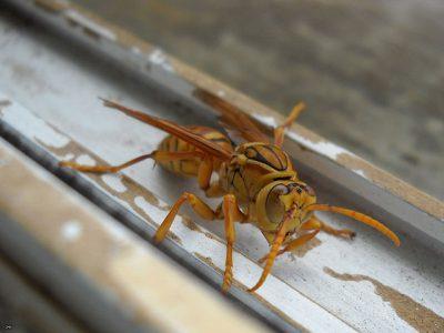 Une mouche jaune de l'Ile Maurice, qui ressemble beaucoup à une guêpe