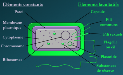 Coupe schématique d'une bactérie